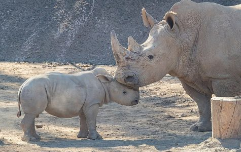 The Tragic Poaching of Rhinos
