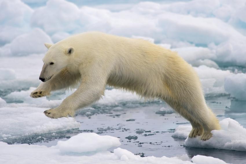 Polar Bears International Endangered Status