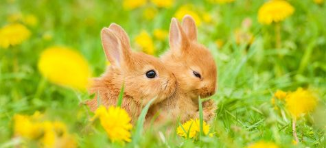 Two bunnies cuddling in a field of flowers.